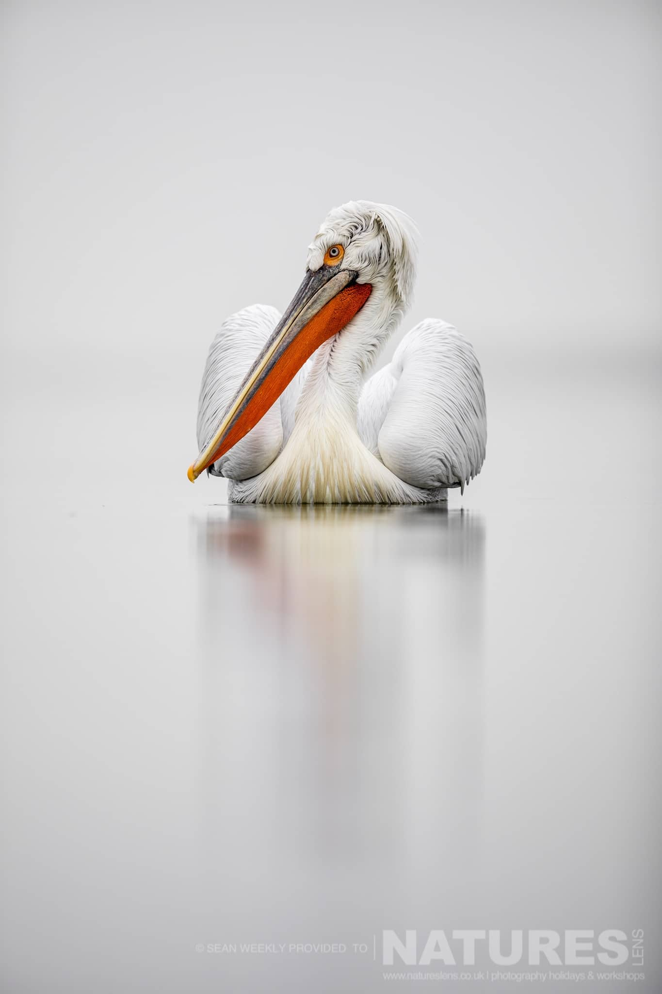 One of Kerkini's Pelicans drifts on the waters of the lake photographed during one of the NaturesLens Kerkini Pelican Photography Holidays