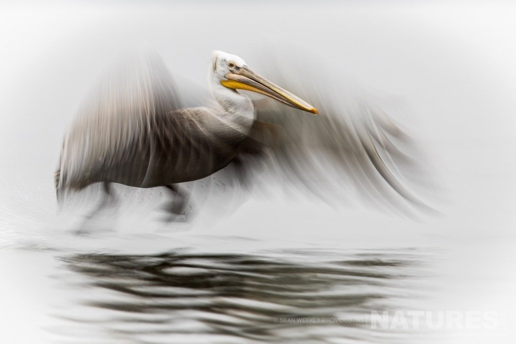One of the juvenile Pelicans attempts a take off on the waters of the lake photographed during one of the NaturesLens Kerkini Pelican Photography Holidays
