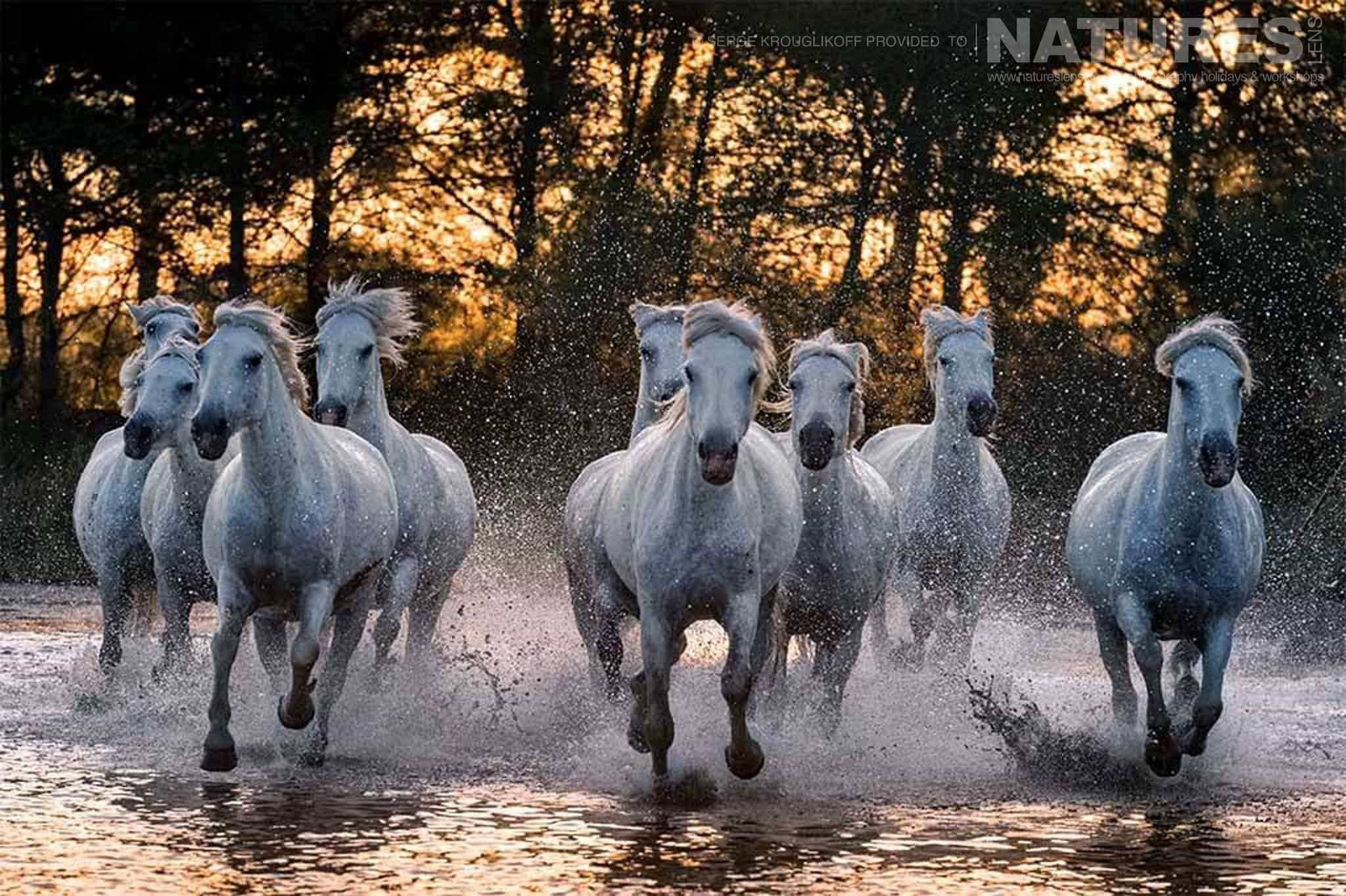 Powerful wild white horses running through water at sunset typical of the type of image that may be captured during the NaturesLens Wild White Horses of the Camargue Photography Holiday