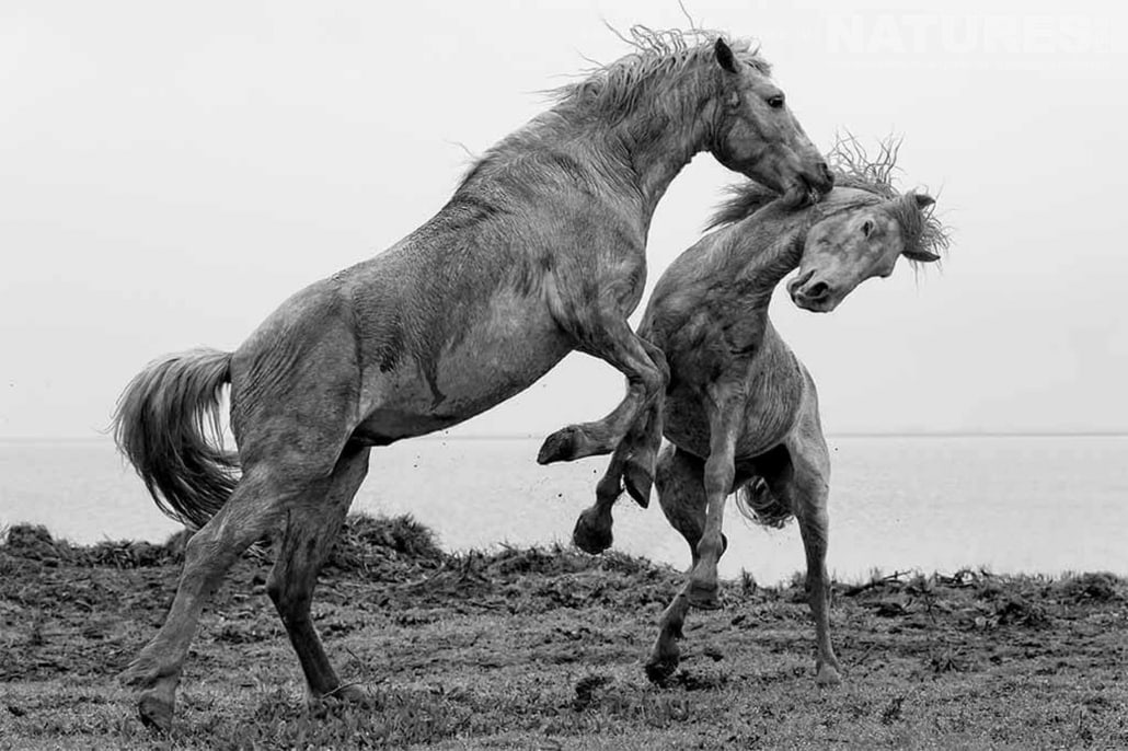 Sparring stallions typical of the type of image that may be captured during the NaturesLens Wild White Horses of the Camargue Photography Holiday