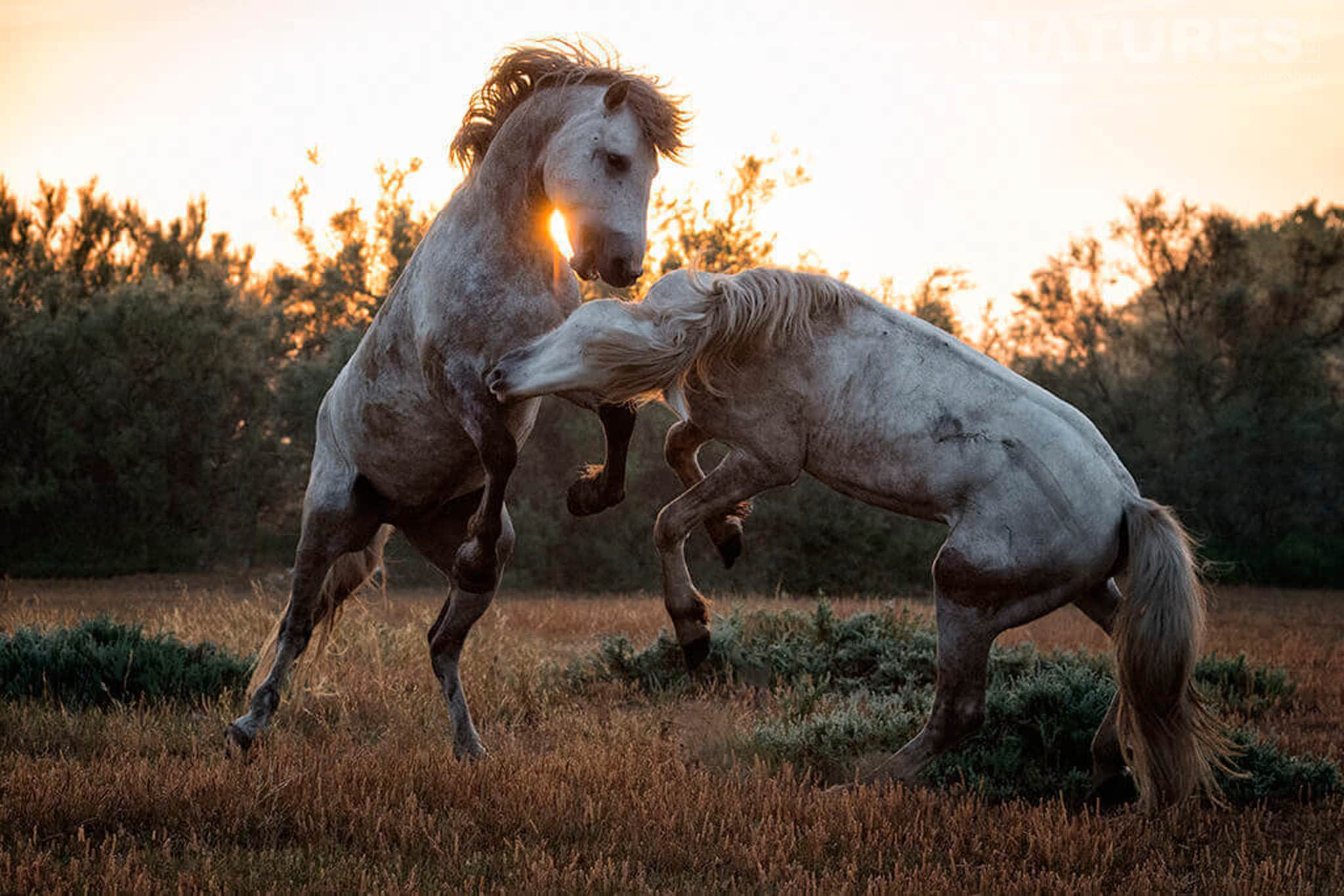 Two stallions fighting at sunset typical of the type of image that may be captured during the NaturesLens Wild White Horses of the Camargue Photography Holiday