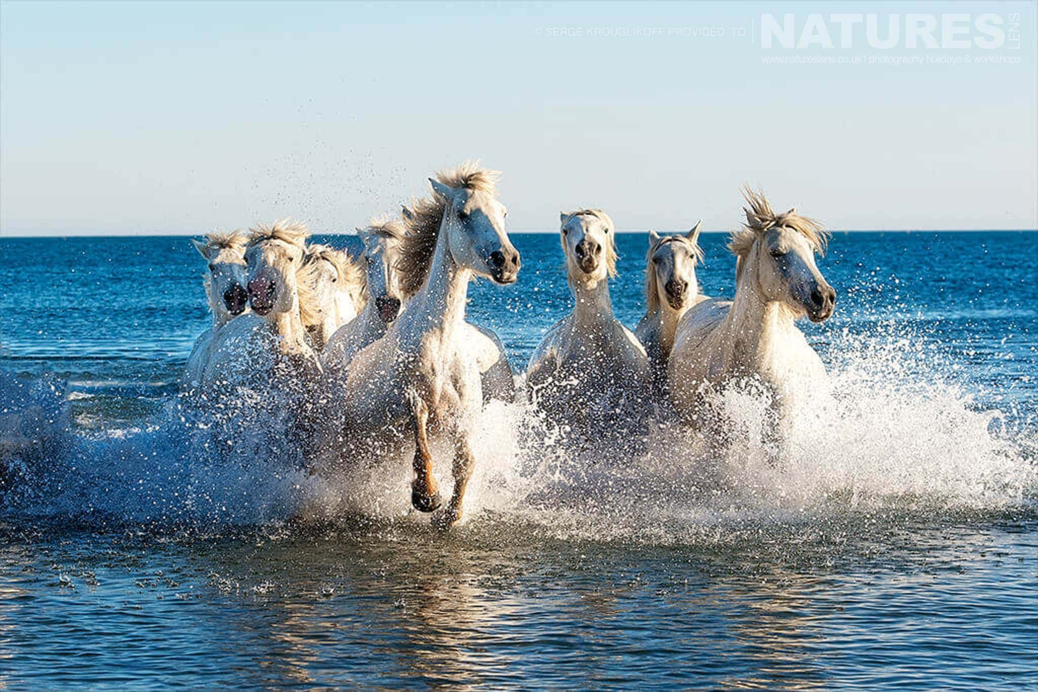 White horses of the camargue running through the surf typical of the type of image that may be captured during the NaturesLens Wild White Horses of the Camargue Photography Holiday