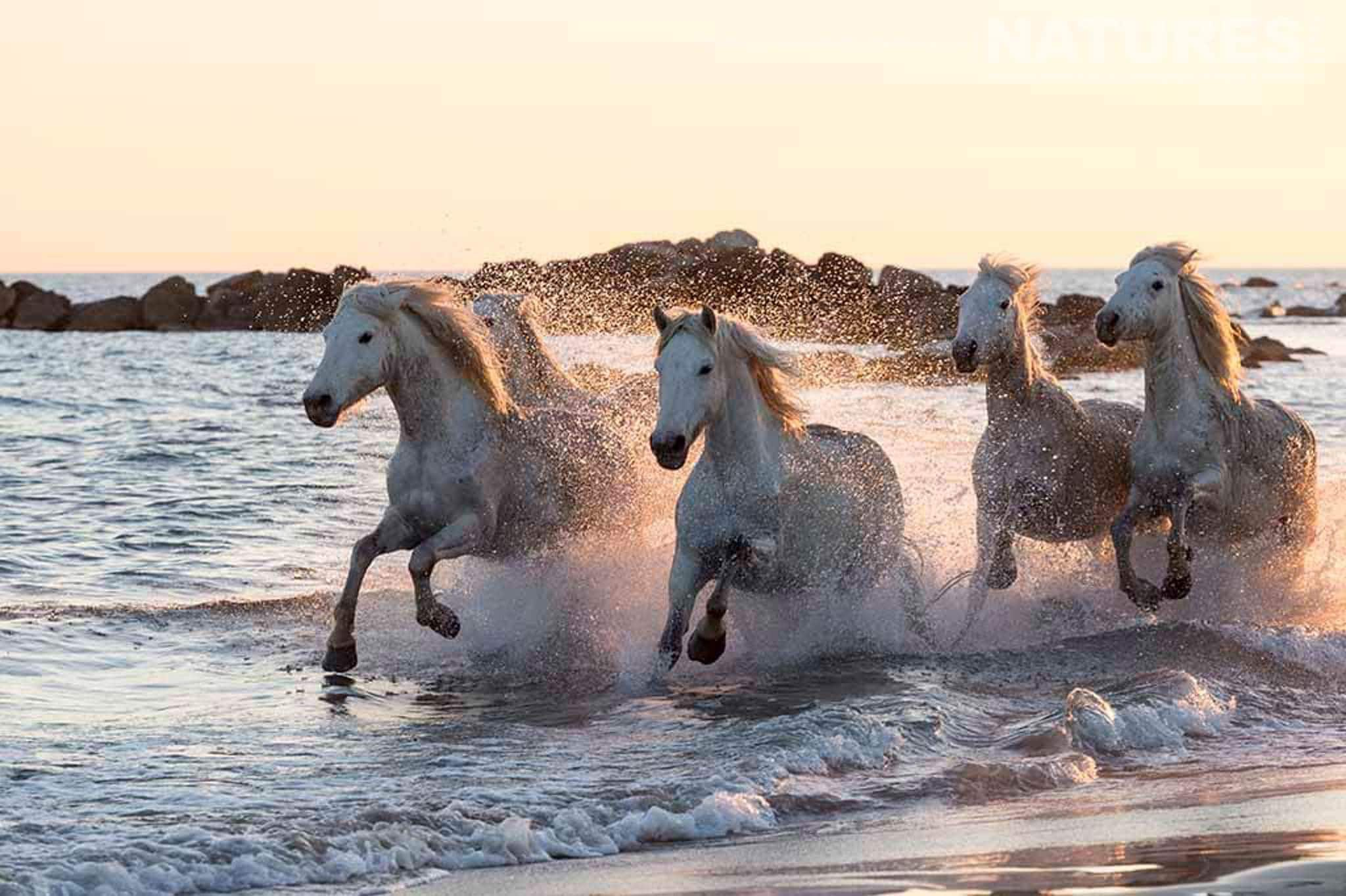 White horses running along the surf edge at sunset typical of the type of image that may be captured during the NaturesLens Wild White Horses of the Camargue Photography Holiday