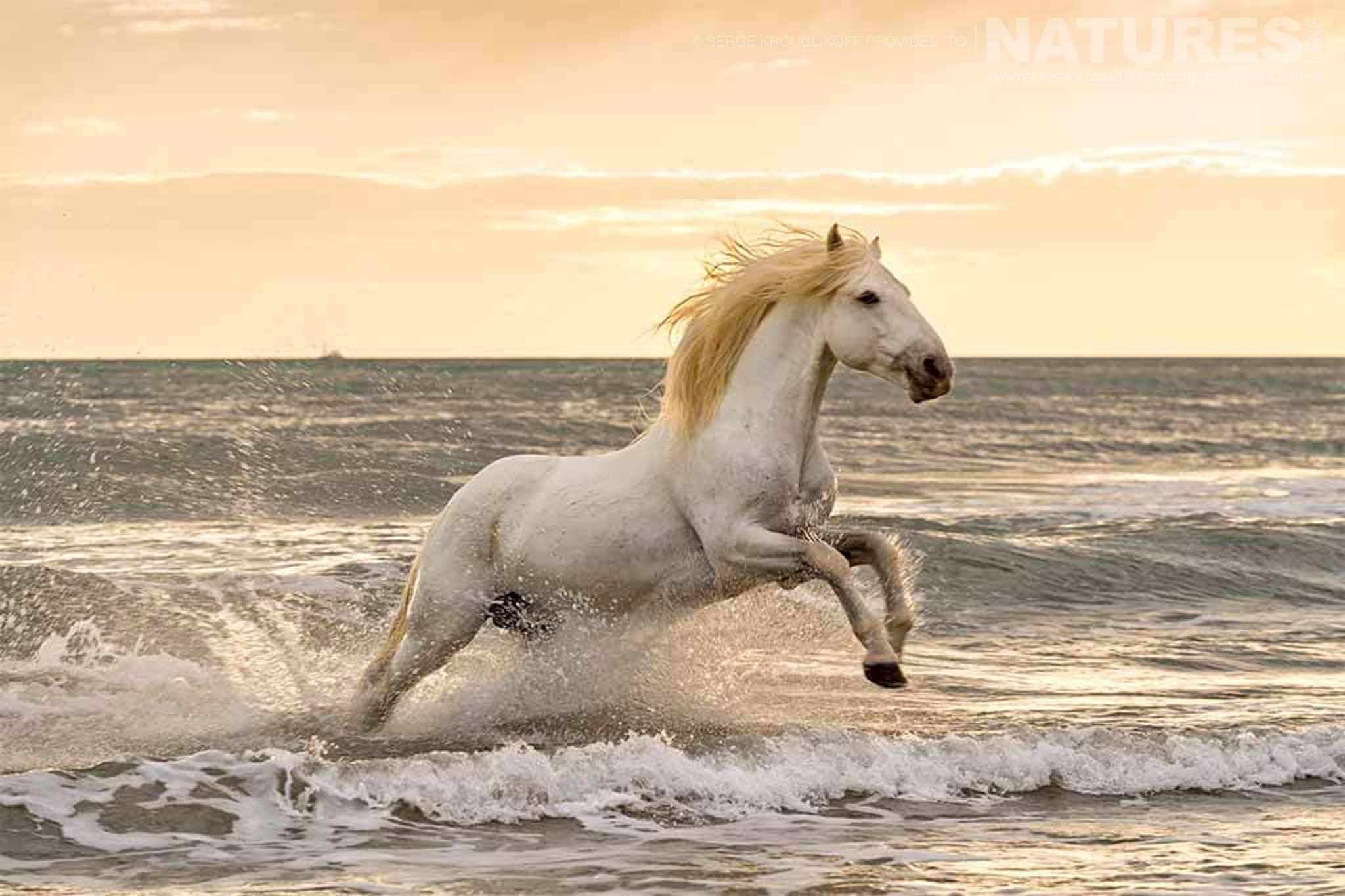 White stallion leaping out of the surf at sunset typical of the type of image that may be captured during the NaturesLens Wild White Horses of the Camargue Photography Holiday