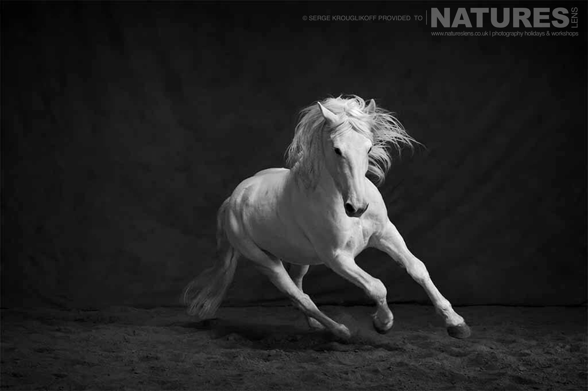 White stallion photographed during the special portrait session typical of the type of image that may be captured during the NaturesLens Wild White Horses of the Camargue Photography Holiday