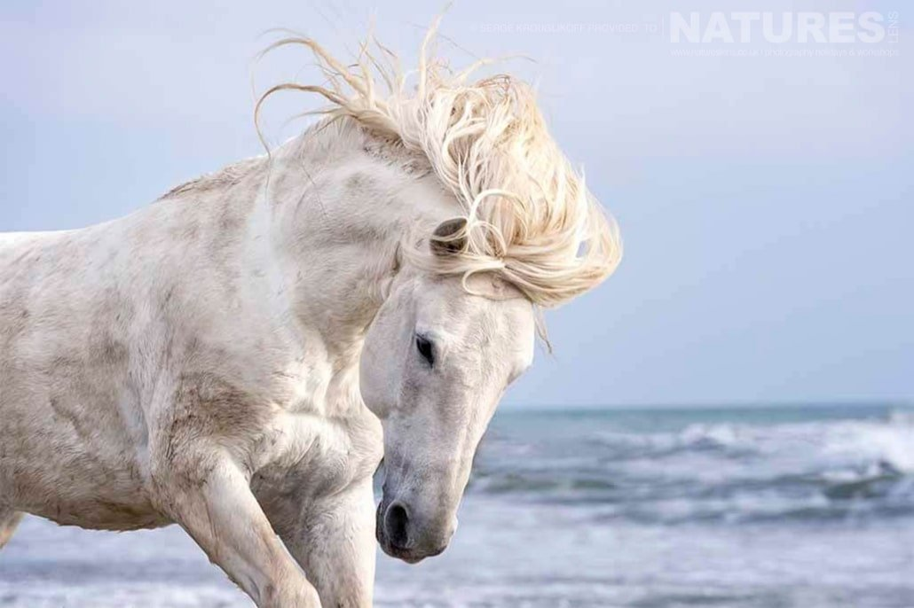 White stallion with windswept mane typical of the type of image that may be captured during the NaturesLens Wild White Horses of the Camargue Photography Holiday