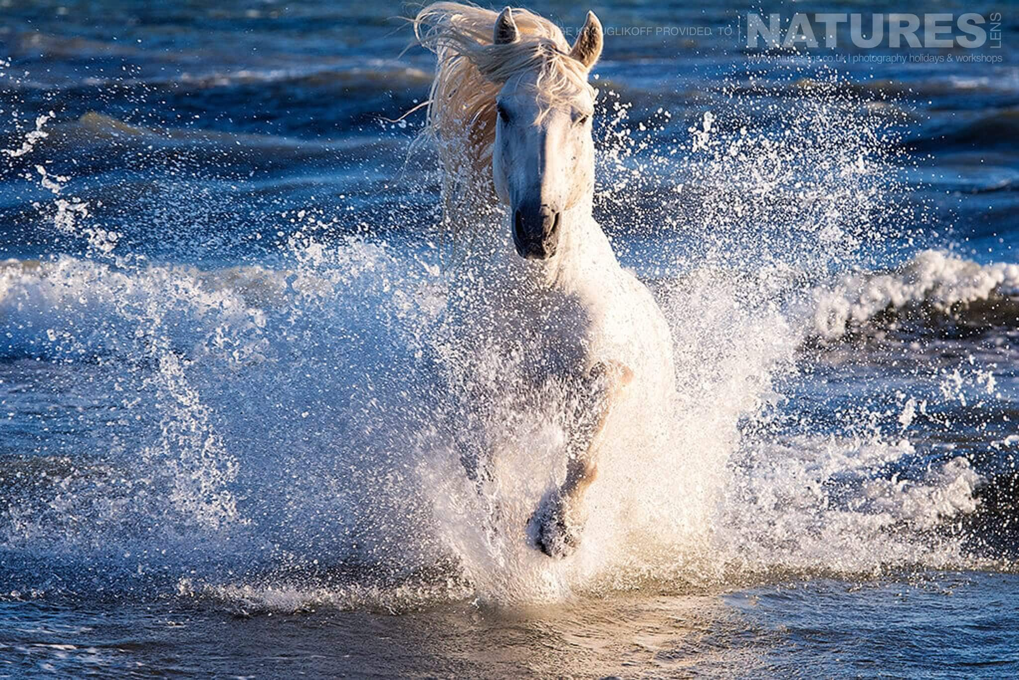Wild white horse throwing up spray as he runs through the surf typical of the type of image that may be captured during the NaturesLens Wild White Horses of the Camargue Photography Holiday
