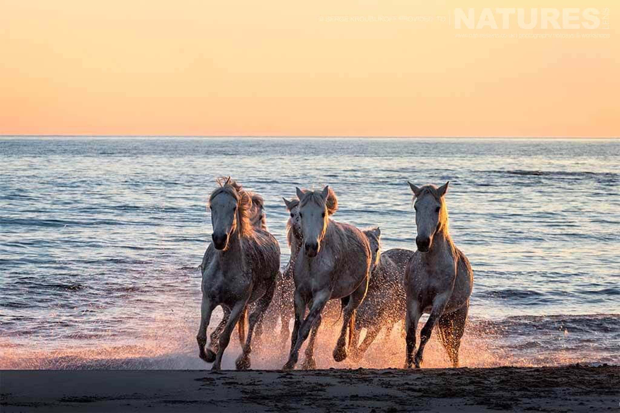 wild white horses at sunset typical of the type of image that may be captured during the NaturesLens Wild White Horses of the Camargue Photography Holiday