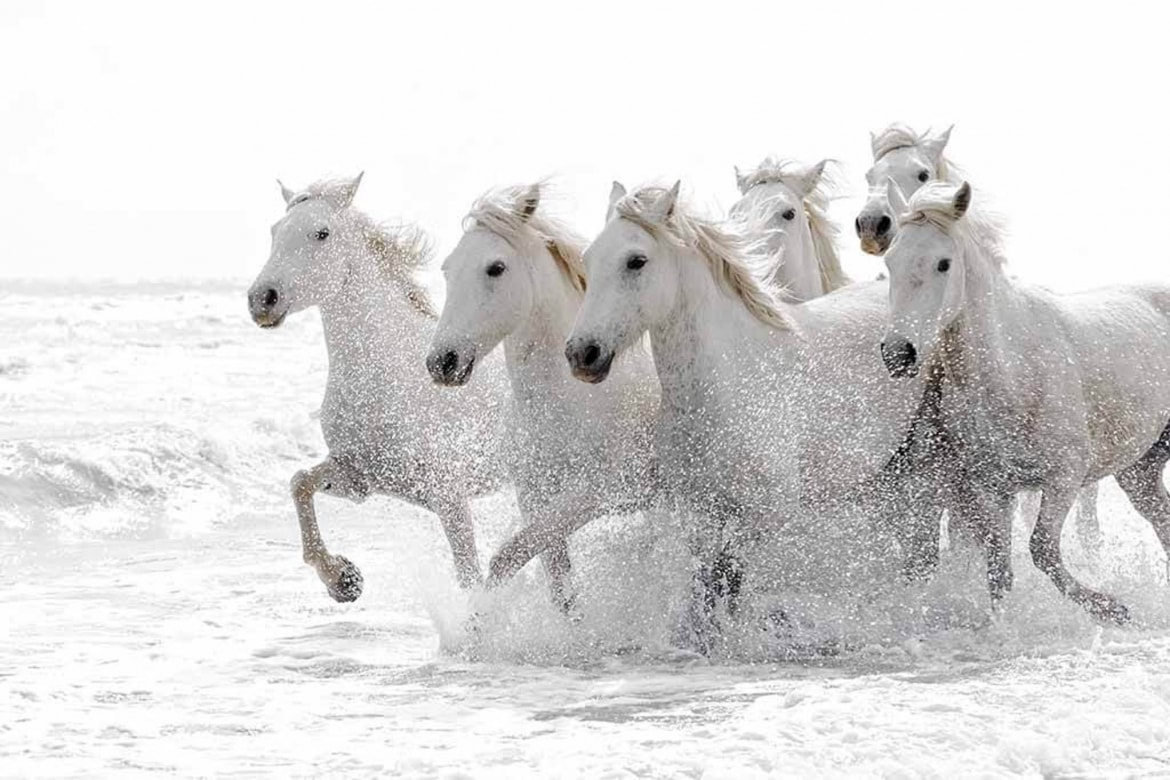 Wild white horses in the surf typical of the type of image that may be captured during the NaturesLens Wild White Horses of the Camargue Photography Holiday