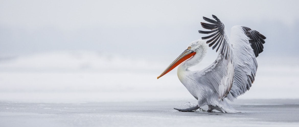 A Dalmatian Pelican lands on the frozen surface of Lake Kerkini photographed during the NaturesLens Dalmatian Pelicans of Greece Photography Holiday