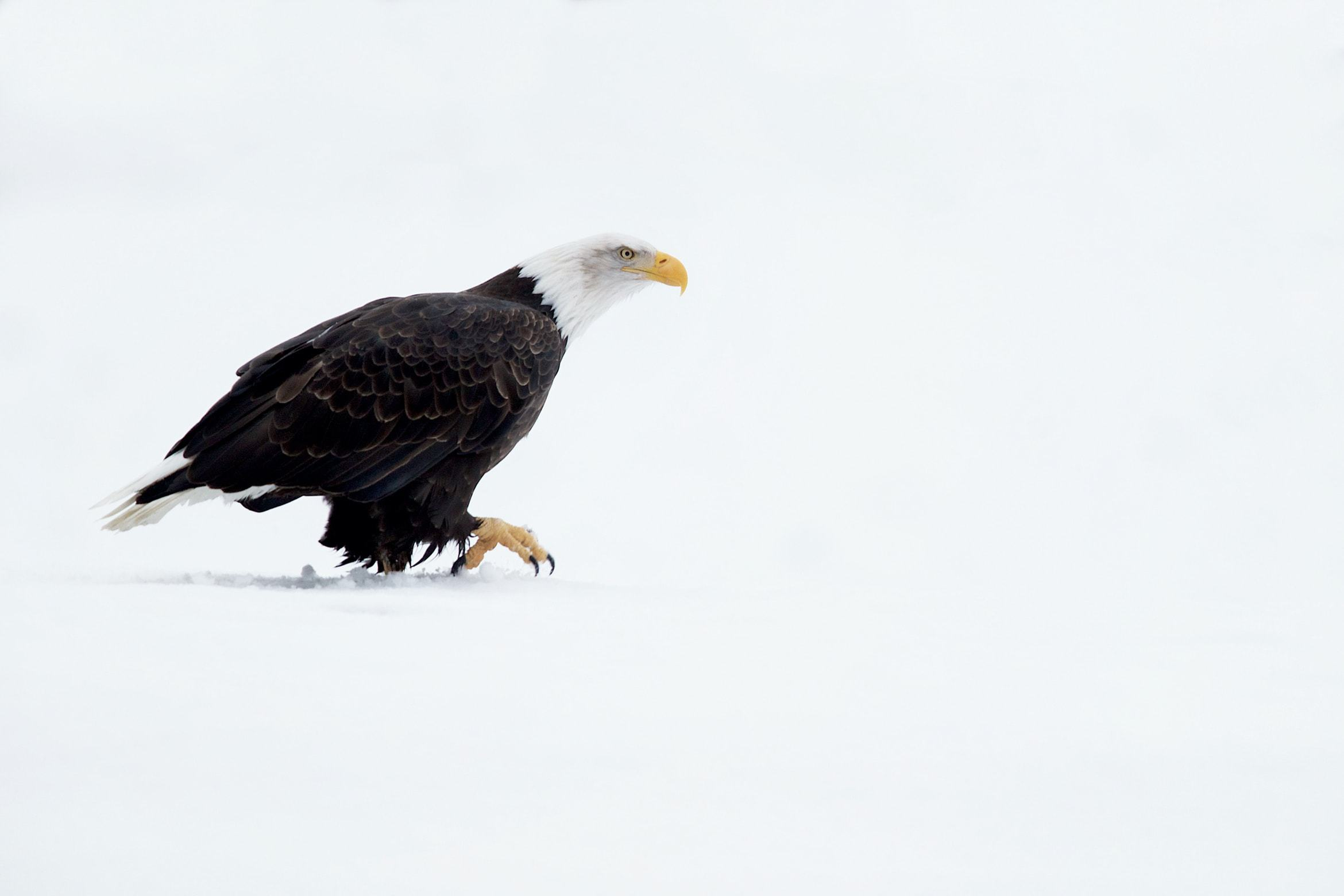 Example of the type of image that you may have opportunities to capture during the NaturesLens Bald Eagles of Alaska Photography Holiday