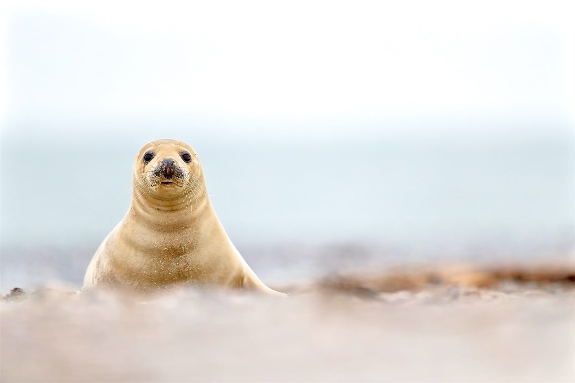 Example of the type of image that you may have opportunities to capture during the NaturesLens Grey Seals of Helgoland Photography Holiday