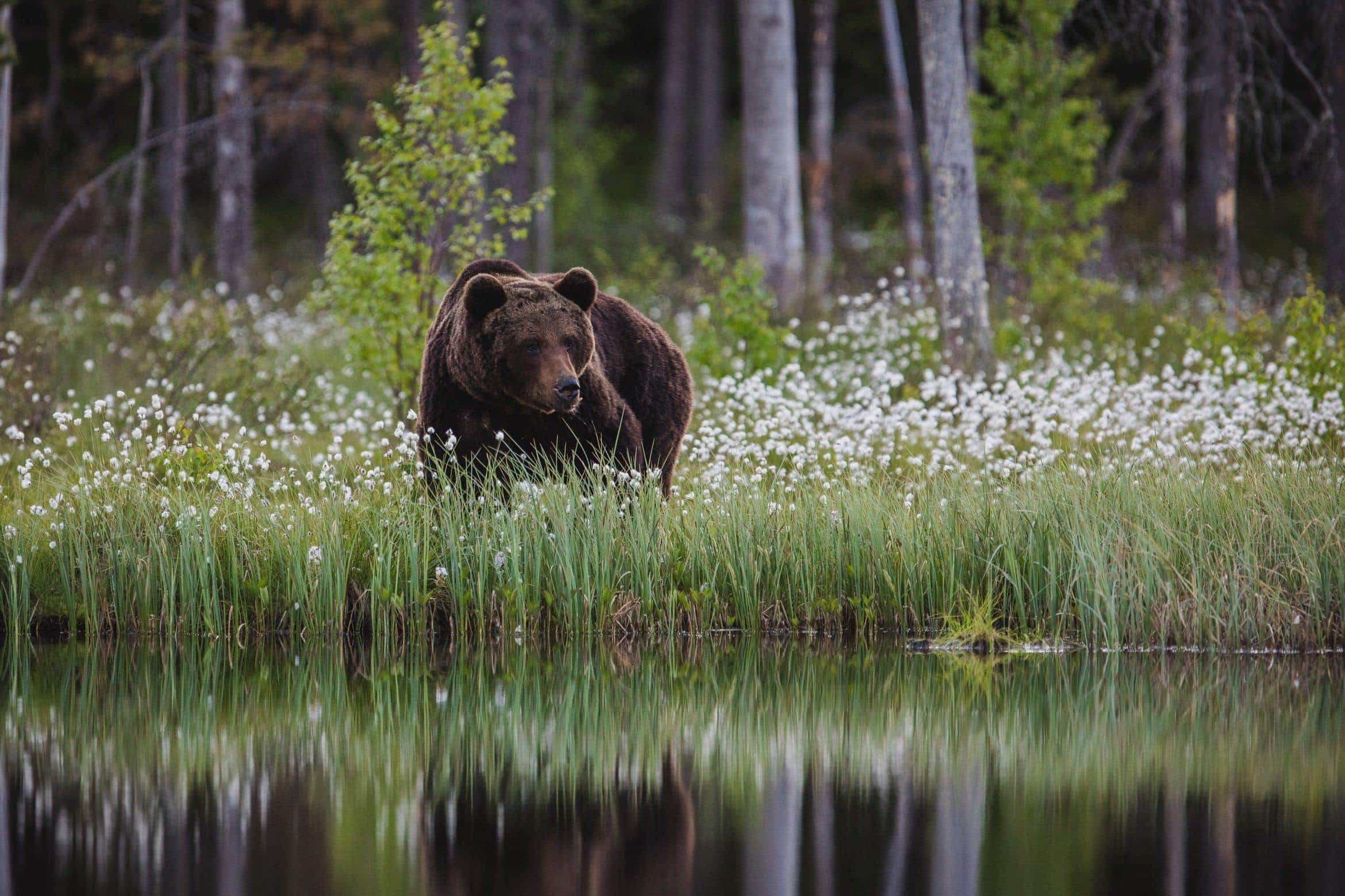 Example of the type of image that you will have opportunities to capture during the NaturesLens Wild Brown Bears of Finland WIldlife Photograhpy Holiday