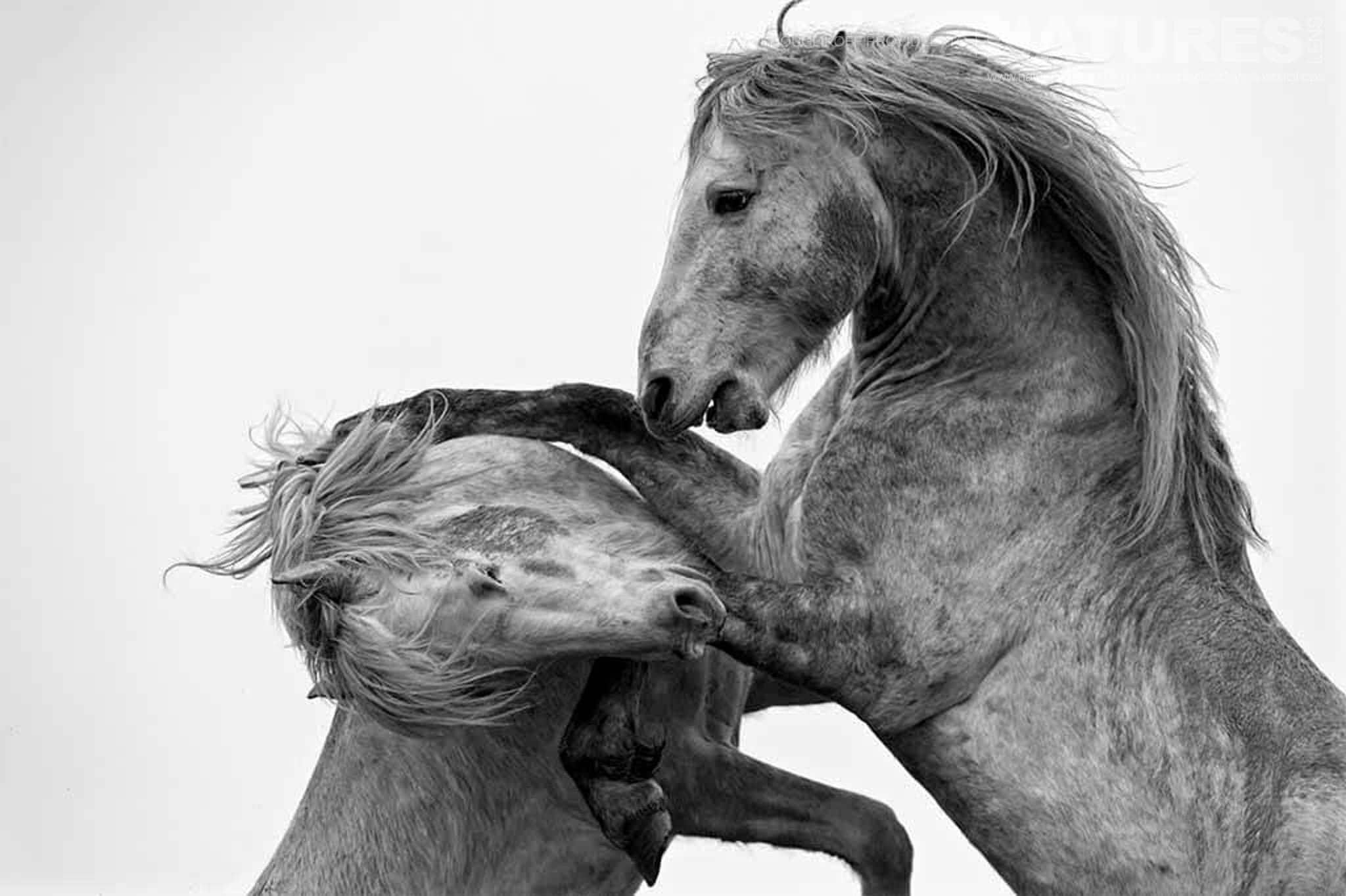 Portrait of fighting stallions typical of the type of image that may be captured during the NaturesLens Wild White Horses of the Camargue Photography Holiday
