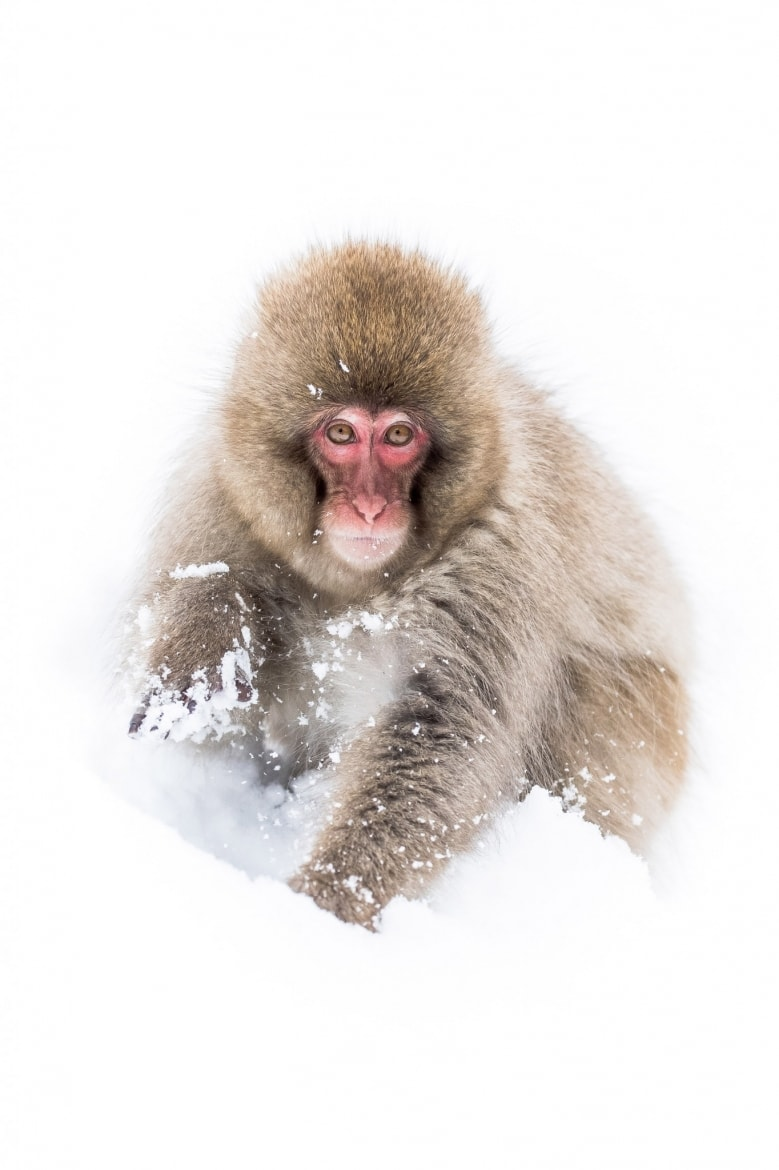 Snow monkey of the Jigokudani Valley photographed by David Miles of NaturesLens