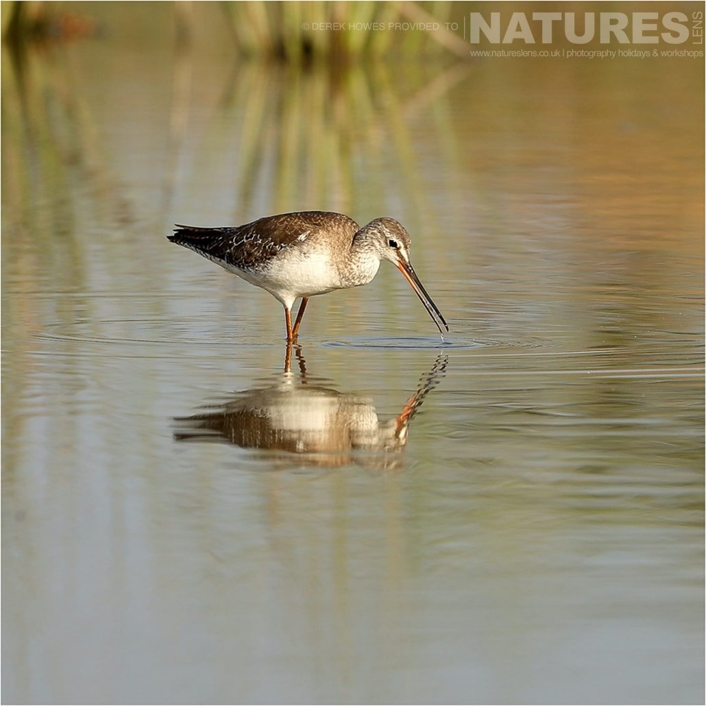 A Bar tailed Godwit looking for food in water an image captured during a Natureslens Little Rann of Kutch Photography Holiday