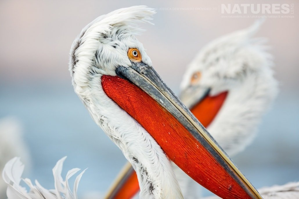 A close up of a dalmatian pelican red pouch an image captured during a Natureslens Dalmatian Pelicans of Greece Photography Holiday