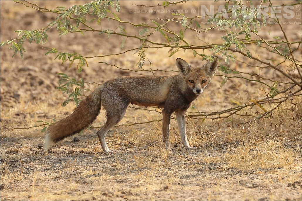 A Female Desert Fox an image captured during a Natureslens Little Rann of Kutch Photography Holiday