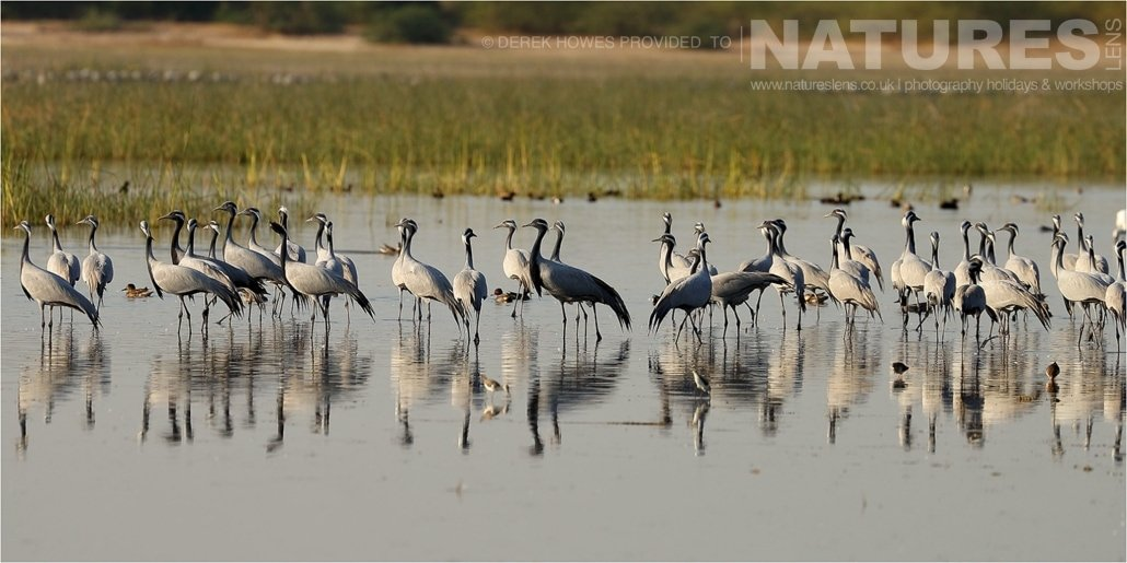 A flock of Demoiselle Cranes congregating in one of the lakes in the Kutch area an image captured during a Natureslens Little Rann of Kutch Photography Holiday