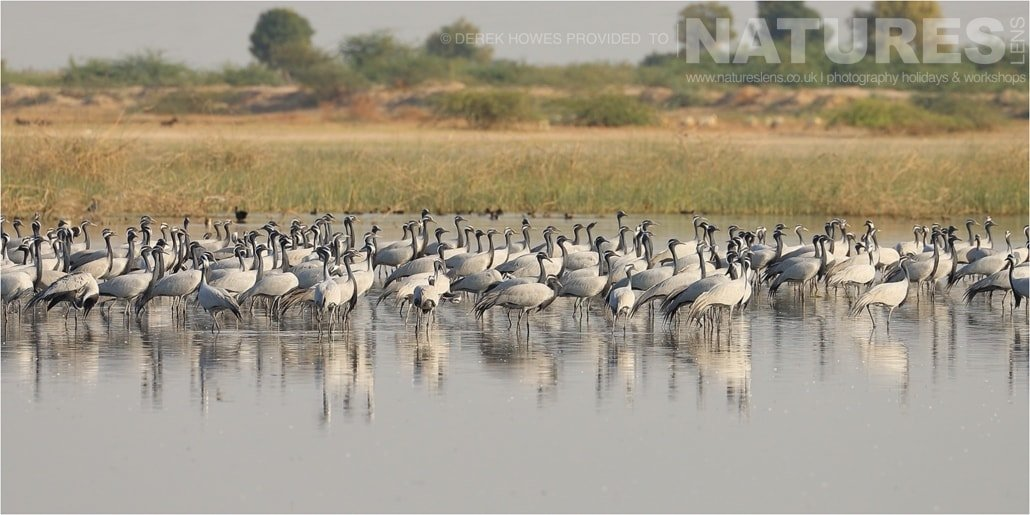 A flock of Demoiselle Cranes in one of the lakes at Little Rann of Kutch an image captured during a Natureslens Little Rann of Kutch Photography Holiday