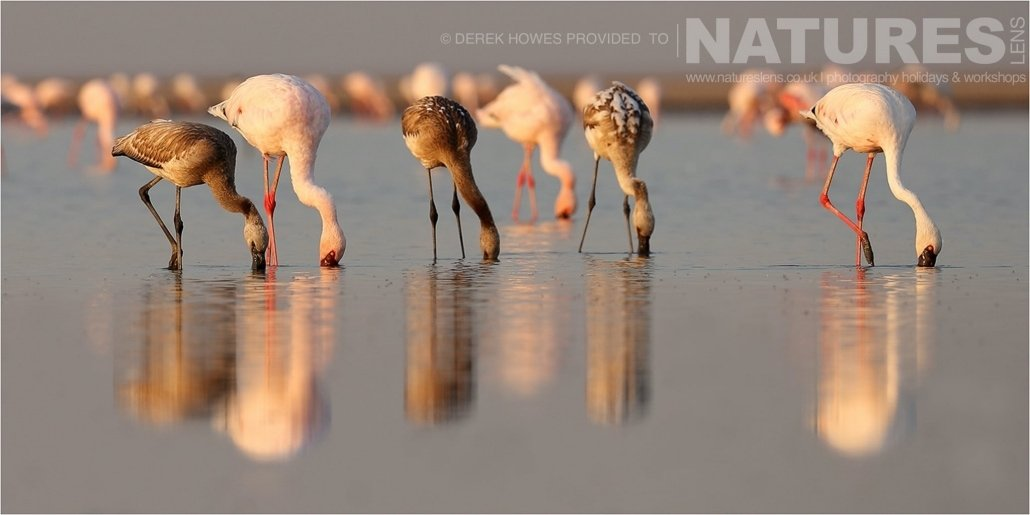 A group of Lesser Flamingo and juveniles feeding in water an image captured during a Natureslens Little Rann of Kutch Photography Holiday
