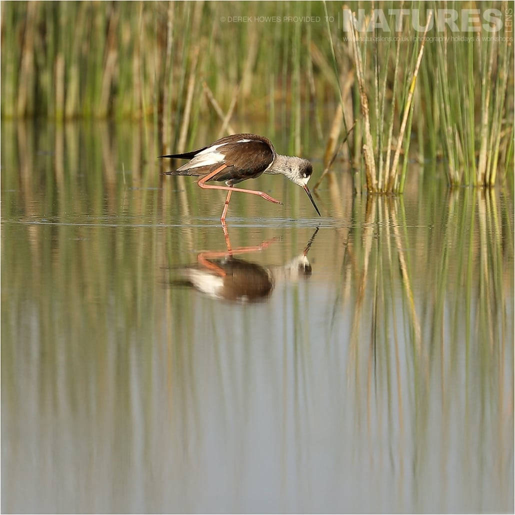 A Juvenile Black Winged Stilt standing in water with one leg raised an image captured during a Natureslens Little Rann of Kutch Photography Holiday