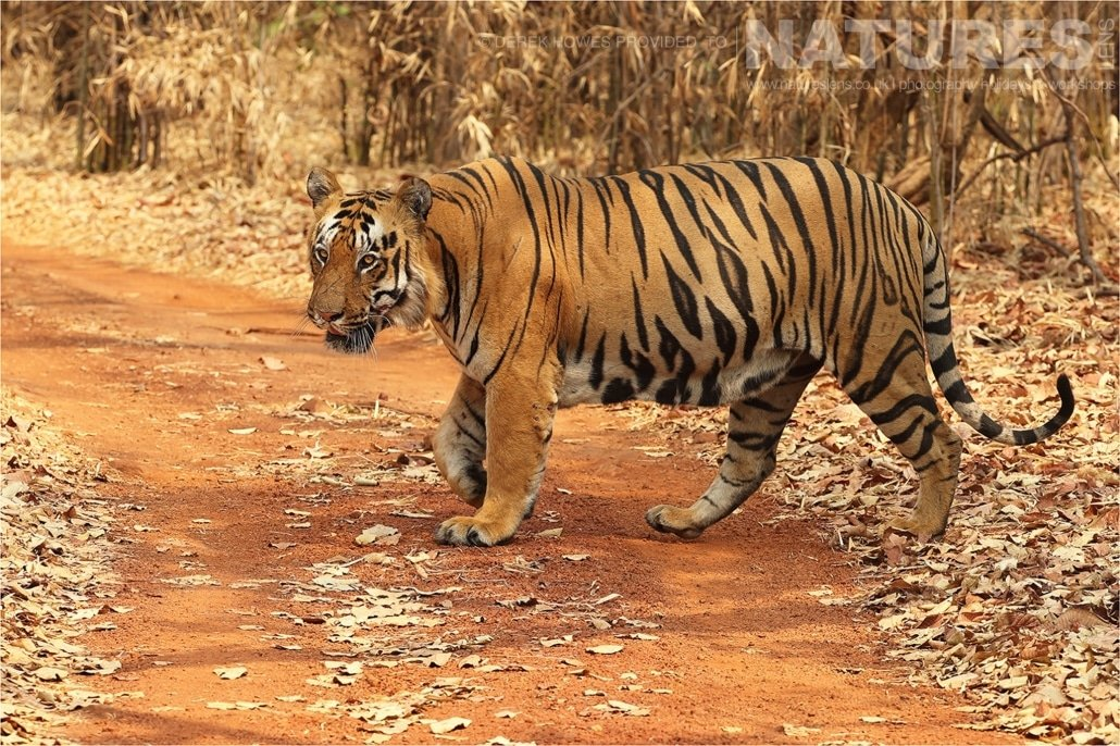 A large male tiger crossing the road an image captured during a Natureslens Bengal Tigers of Tadoba Photography Holiday