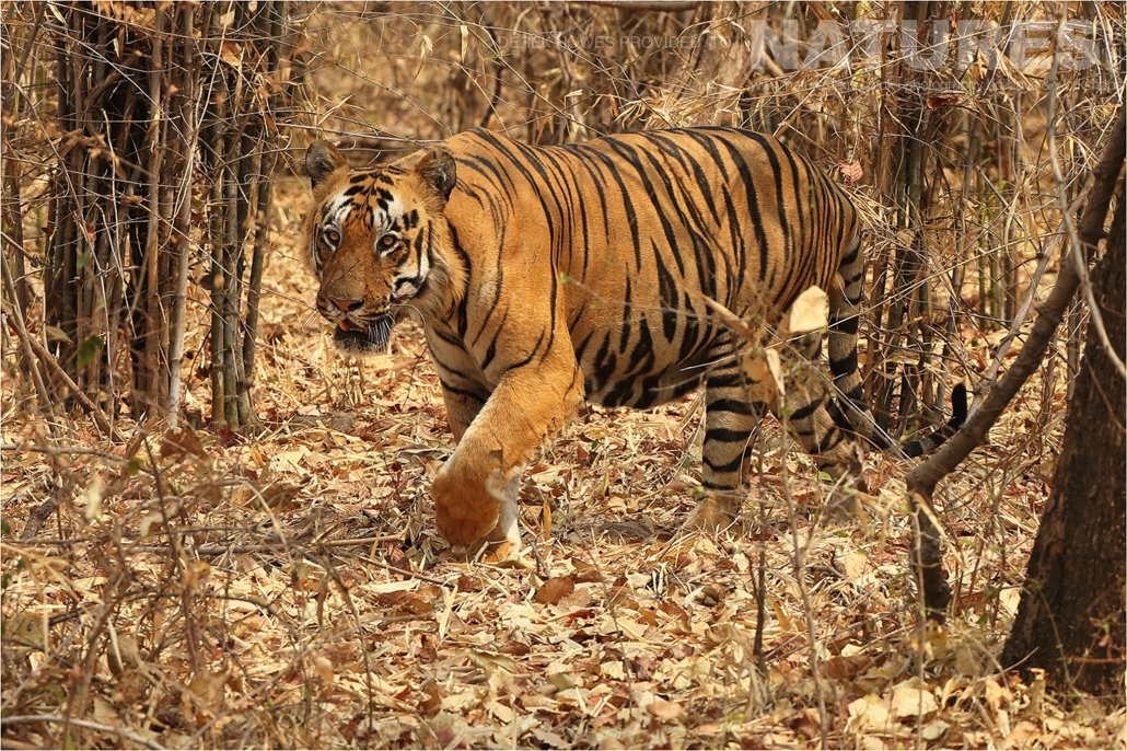 A large male tiger emerging from the jungle an image captured during a Natureslens Bengal Tigers of Tadoba Photography Holiday