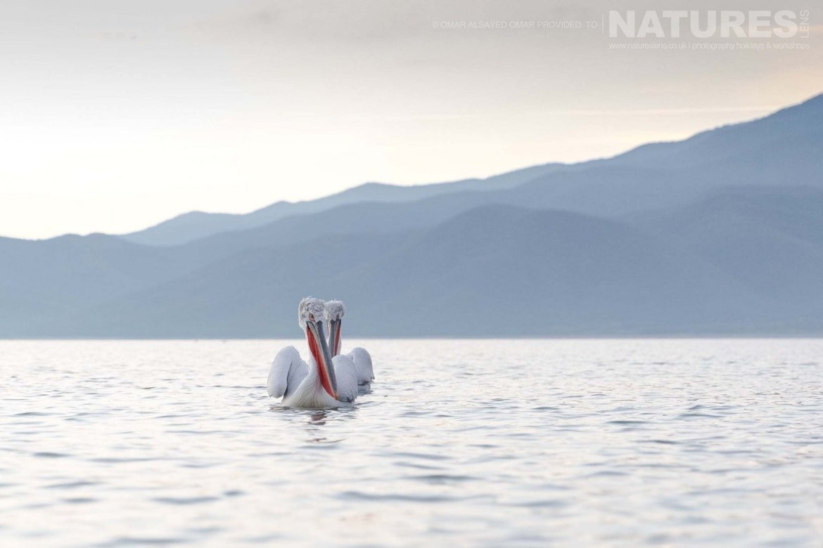 A pair of Dalmatian Pelicans on Lake Kerkini against a mountain backdrop an image captured during a Natureslens Dalmatian Pelicans of Greece Photography Holiday