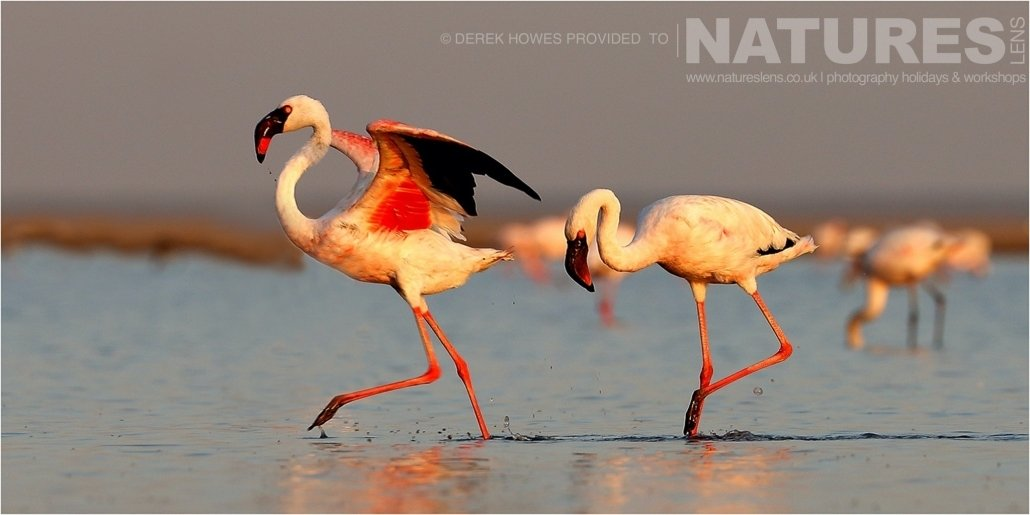 A pair of Lesser Flamingo getting ready to take off at one of the lakes in the Kutch area an image captured during a Natureslens Little Rann of Kutch Photography Holiday