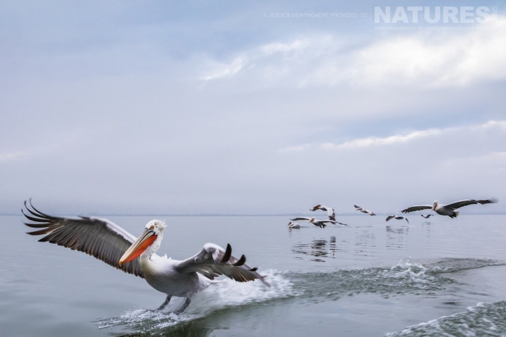 A pod of Dalmatian Pelicans gliding in to land on Lake Kerkini an image captured during a Natureslens Dalmatian Pelicans of Greece Photography Holiday