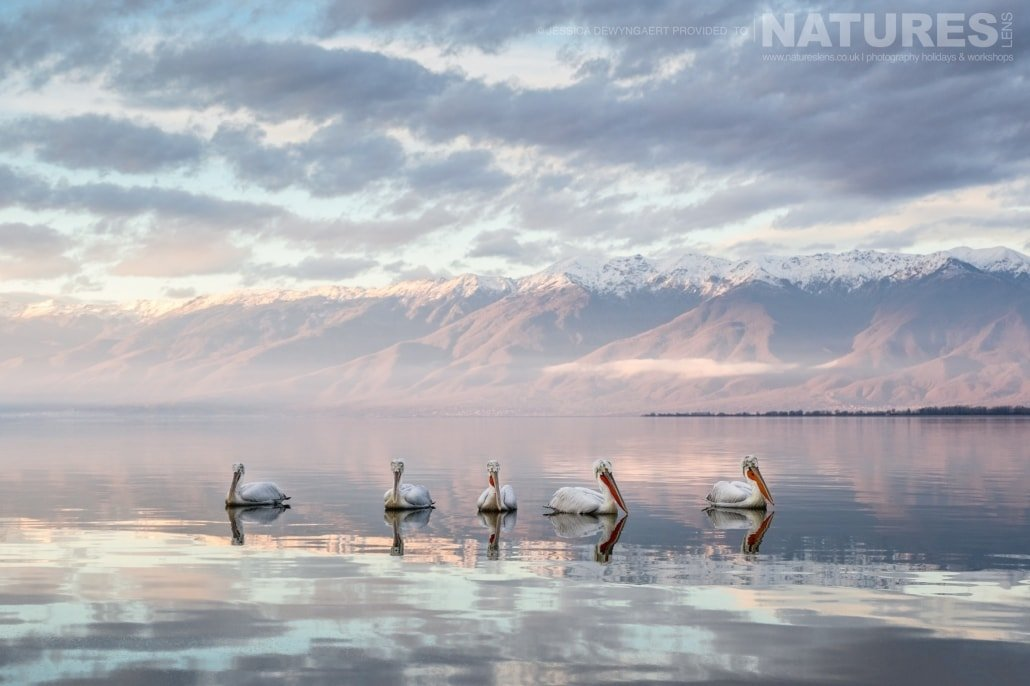 A pod of Dalmatian Pelicans on a stunning pink tinged Lake Kerkini an image captured during a Natureslens Dalmatian Pelicans of Greece Photography Holiday