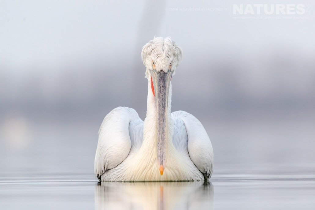 A portrait of a Dalmatian Pelican in full winter plumage an image captured during a Natureslens Dalmatian Pelicans of Greece Photography Holiday