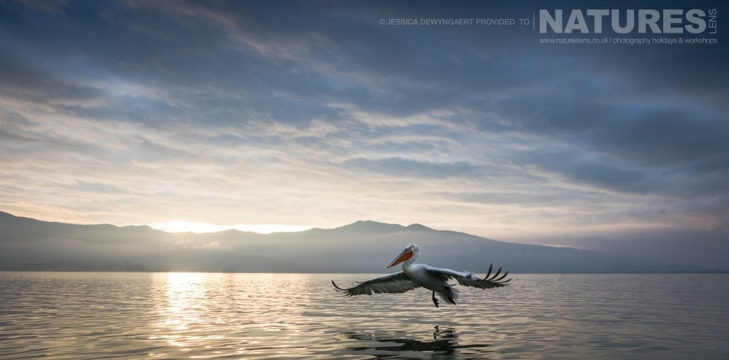 A solitary Dalmatian Pelican flies across Lake Kerkini at sunrise an image captured during a Natureslens Dalmatian Pelicans of Greece Photography Holiday