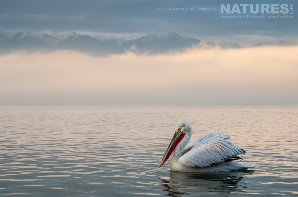 A solitary Dalmatian Pelican floating on Lake Kerkini an image captured during a Natureslens Dalmatian Pelicans of Greece Photography Holiday