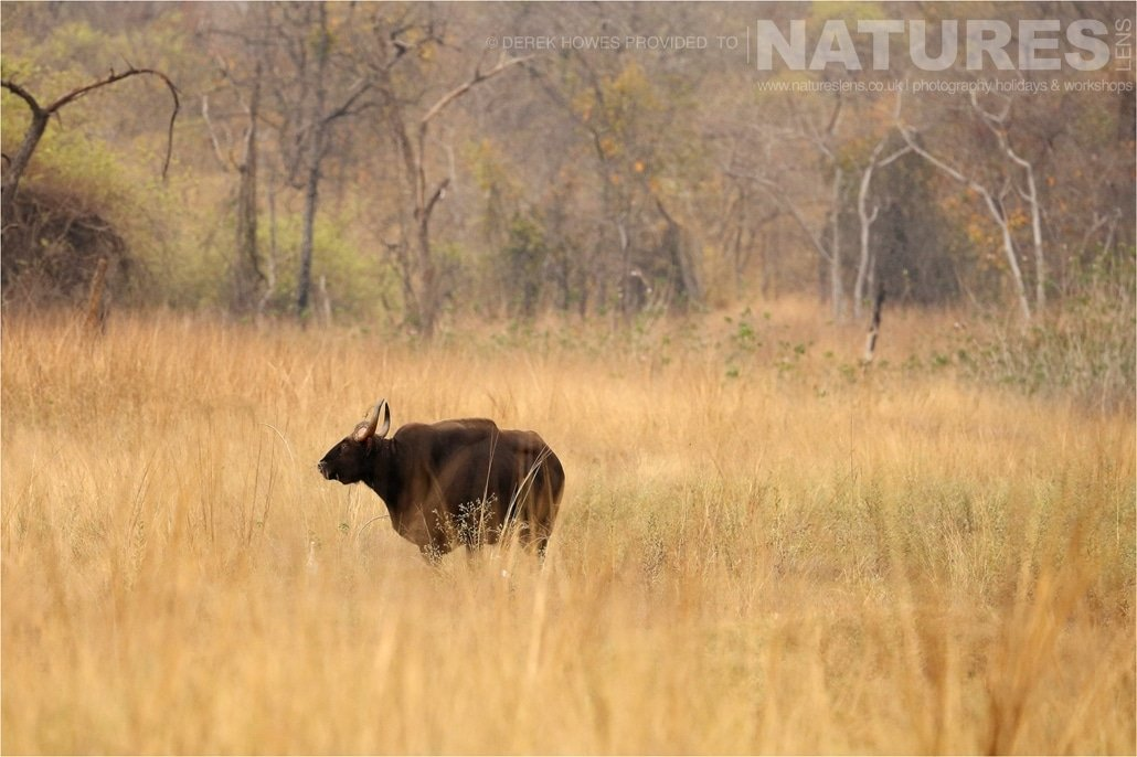 A solitary Indian Gaur in long grass an image captured during a Natureslens Bengal Tigers of Tadoba Photography Holiday