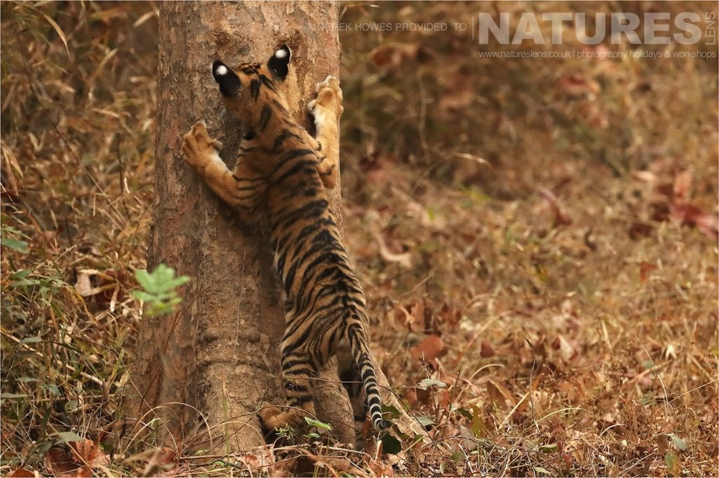 A Tiger Cub checking the scent on a tree an image captured during a Natureslens Bengal Tigers of Tadoba Photography Holiday