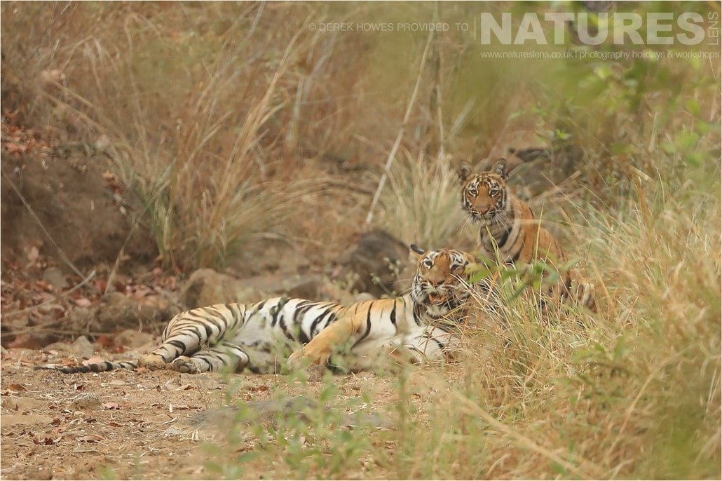 A tigress rests as her cub keeps watch an image captured during a Natureslens Bengal Tigers of Tadoba Photography Holiday