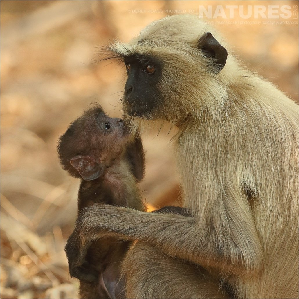 A young baby langur looks up at its mother an image captured during a Natureslens Bengal Tigers of Tadoba Photography Holiday