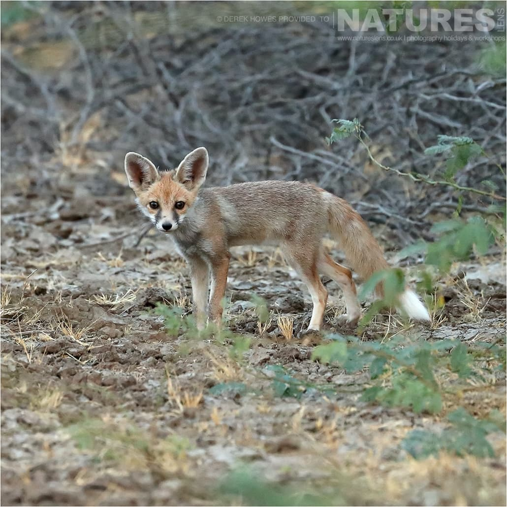 A young Desert Fox kit an image captured during a Natureslens Little Rann of Kutch Photography Holiday