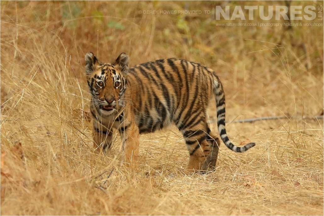 A young indian tiger cub an image captured during a Natureslens Bengal Tigers of Tadoba Photography Holiday