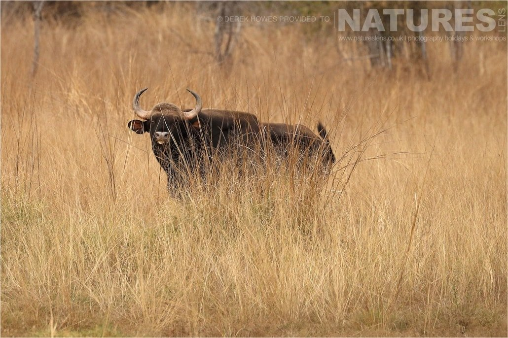 An Indian Gaur peering through the long grass an image captured during a Natureslens Bengal Tigers of Tadoba Photography Holiday