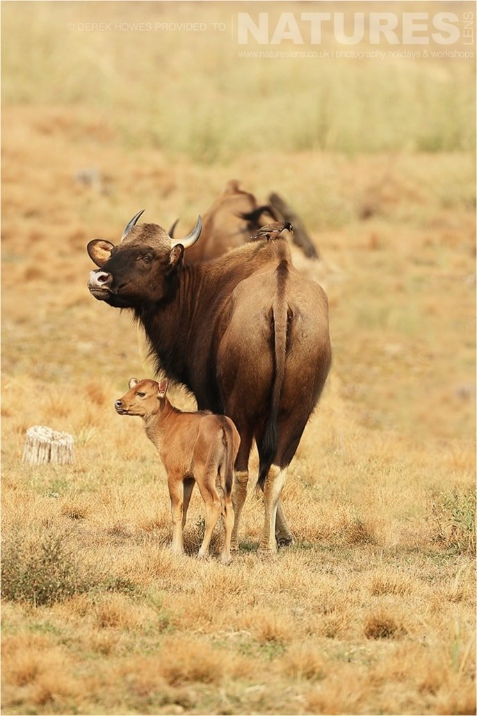 An Indian Gaur with its one day old calf an image captured during a Natureslens Bengal Tigers of Tadoba Photography Holiday
