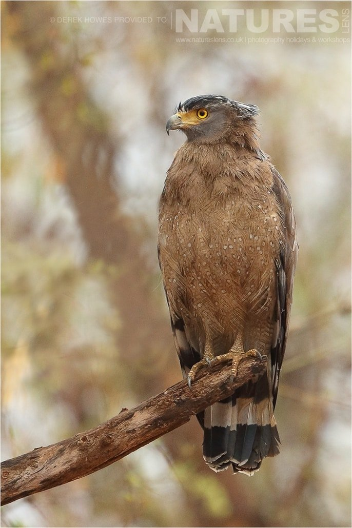Crested Serpent Eagle posing at the end of a tree branch an image captured during a Natureslens Bengal Tigers of Tadoba Photography Holiday