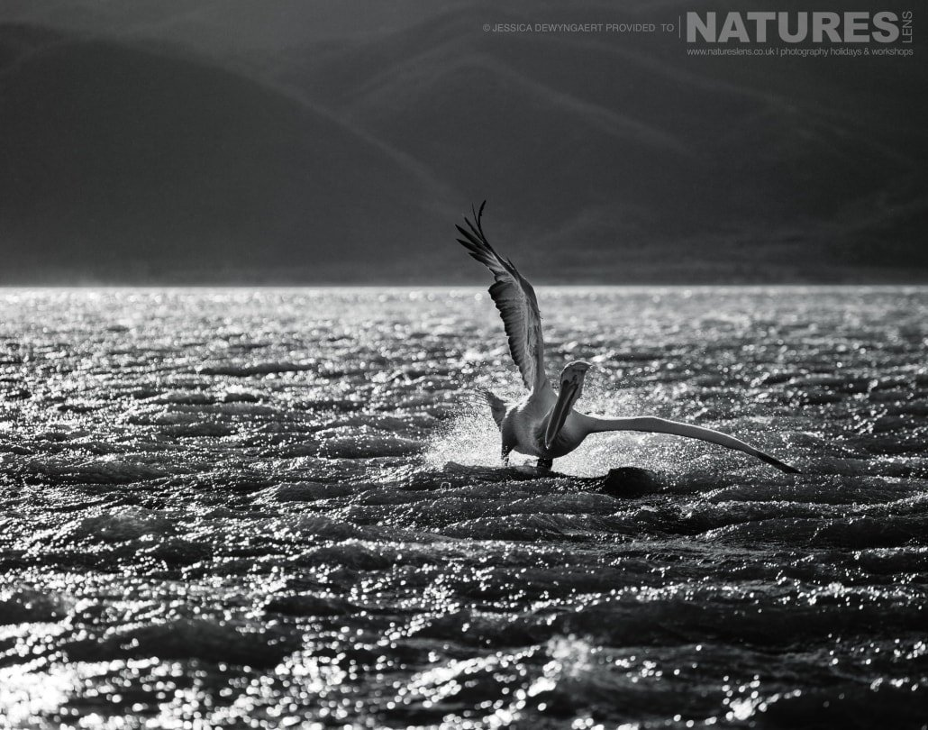 Dalmatian Pelican landing on the choppy waters of Lake Kerkini in monochrome an image captured during a Natureslens Dalmatian Pelicans of Greece Photography Holiday