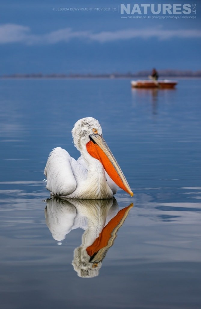 Dalmatian Pelican reflection an image captured during a Natureslens Dalmatian Pelicans of Greece Photography Holiday