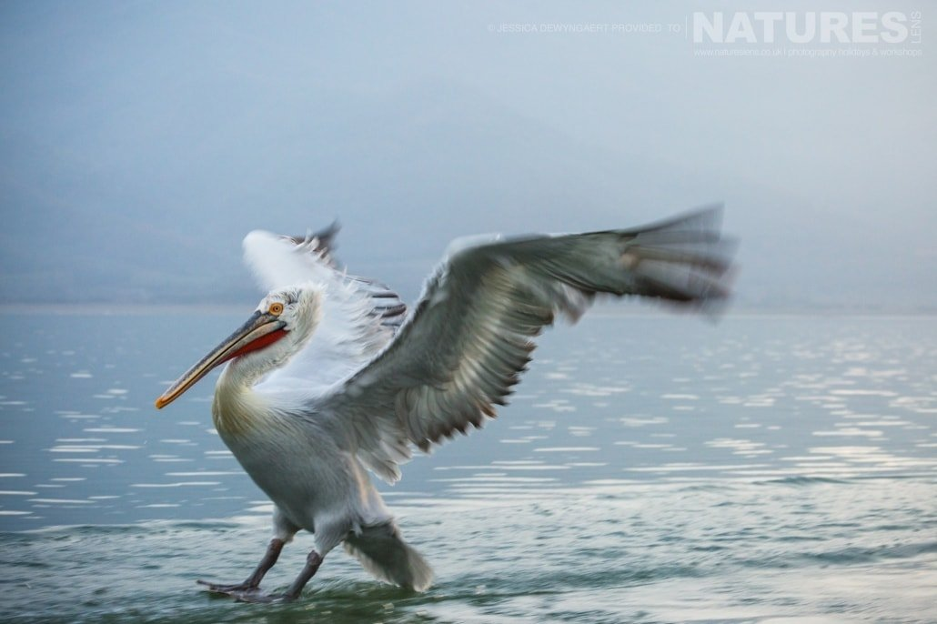 Dalmatian Pelican skiing on water an image captured during a Natureslens Dalmatian Pelicans of Greece Photography Holiday