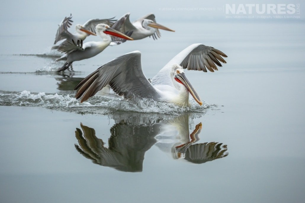 Dalmatian Pelicans landing on the mirror like waters of Lake Kerkini an image captured during a Natureslens Dalmatian Pelicans of Greece Photography Holiday