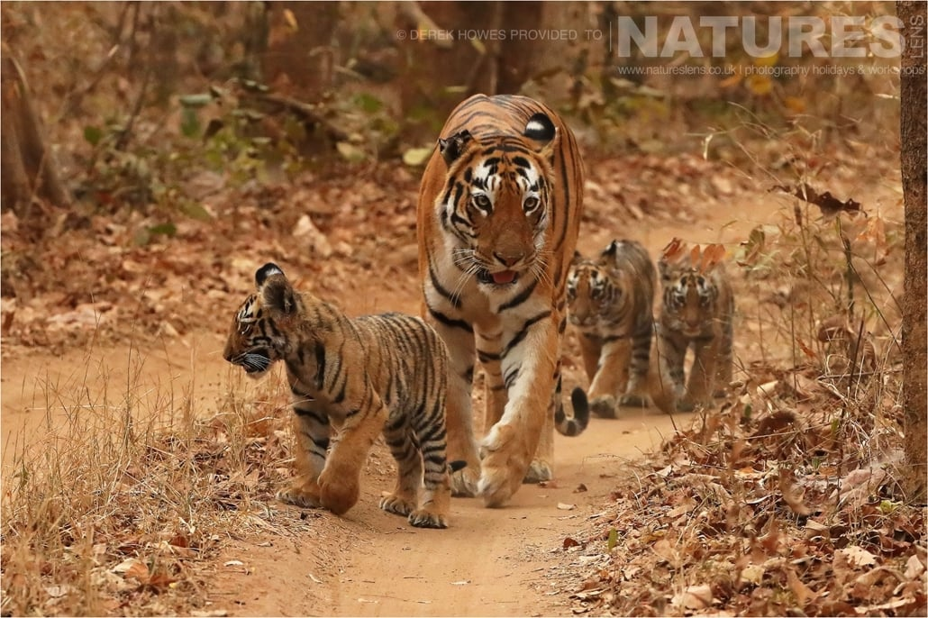 Indian tiger walking on the road with her three tiger cubs an image captured during a Natureslens Bengal Tigers of Tadoba Photography Holiday