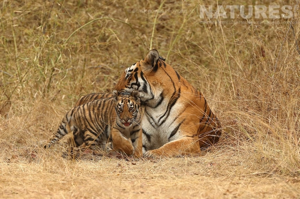 Mother and cub an image captured during a Natureslens Bengal Tigers of Tadoba Photography Holiday